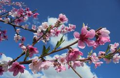 pink peach flowers on blue sky background stock image