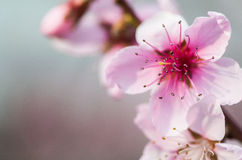 Pink peach flowers Royalty Free Stock Image