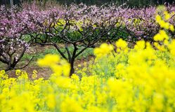 Pink peach flowers with yellow oilseed rape blosso Royalty Free Stock Photo