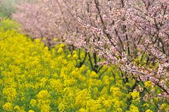 Pink peach and plum blossom-flower and seedling industry Royalty Free Stock Photo
