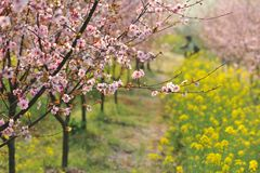 Pink peach and plum blossom-flower and seedling industry Stock Photography
