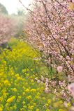 Pink peach and plum blossom-flower and seedling industry Stock Photo