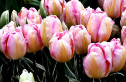 Pink and Peach striped Tulips Royalty Free Stock Photography