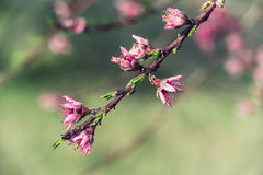 Pink peach tree blossoms Stock Image