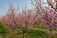 Peach tree blossoms. Pink peach tree blossoms on a sunny day royalty free stock image