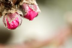 Pink peach tree flower buds in spring with copyspace stock images