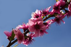 Pink peach tree flowers over natural bue sky background. Pink peach tree flowers in a natural, light, bright background royalty free stock photos