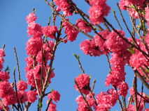 Pink peach tree flowers Stock Photos