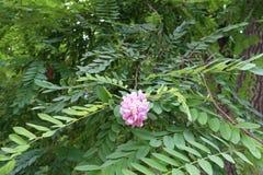 Pink pealike flowers of Robinia hispida borne in hanging racemes royalty free stock image
