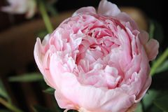 Delicate lovely pink peony flower Royalty Free Stock Photo