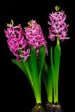 Pink pearl hyacinth stock image