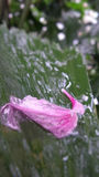 Pink petal fall on sparkling wet palm leaf Stock Images