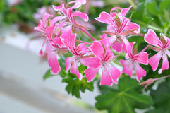 Pink Pelargonium Royalty Free Stock Image