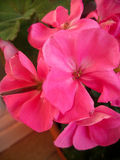 Pink pelargonium Stock Image