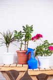 Pink pelargonium, crassula, dracaena in pots and blue sprayer st Stock Images