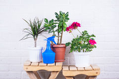 Pink pelargonium, crassula, dracaena in pots and blue sprayer Stock Photography
