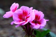 Pink pelargonium flower blooms. Pink pelargonium with five petals, macro royalty free stock photos