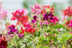 Pink pelargonium flowers in the garden Royalty Free Stock Photography
