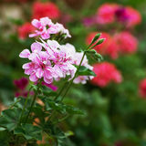 Pink pelargonium flowers Stock Photo