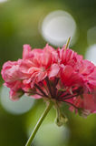 Pink pelargonium flowers Stock Photography