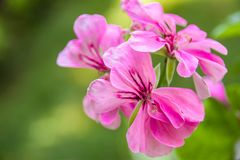 Pink pelargonium flowers. With thin purple stripes along petals Royalty Free Stock Photos