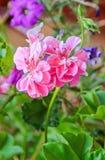 Pink Pelargonium, Geraniums flowers, close up, bokeh outdoor background Stock Photo
