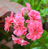Pink Pelargonium, Geraniums flowers, close up, bokeh outdoor background Royalty Free Stock Photo