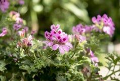 Pink Pelargonium Stock Photos