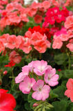 Pink pelargonium stand out. Close up of pink pelargonium stand out Stock Image