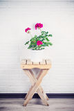 Pink pelargonium in white pot standing on wooden chair Stock Image