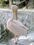 Pink pelican Royalty Free Stock Photos