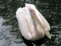 Pink pelican Stock Photography
