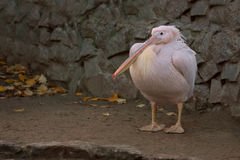 Pink pelican. Royalty Free Stock Photography