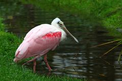 Pink pelican bird Stock Images