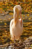 Pink pelican cleaning body. On log by the water Stock Photography