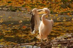 Pink pelican cleaning wing. On log by the water Royalty Free Stock Photos