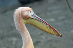 Pink pelican closeup royalty free stock image