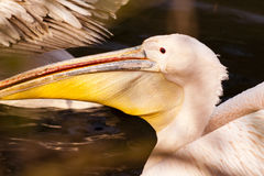Pink Pelican Detail. In Evening Sun royalty free stock photo