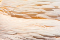 Pink pelican feathers Stock Photo