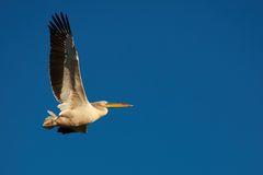 Pink Pelican in flight Stock Photography