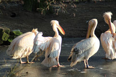 Pink pelican group Stock Image