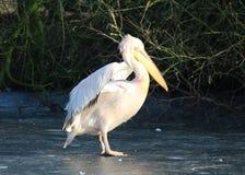 Pink pelican Stock Image