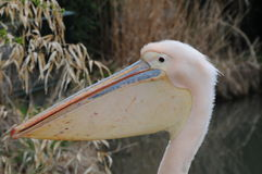 Pink Pelican Head Royalty Free Stock Photography