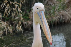 Pink Pelican Head Royalty Free Stock Image