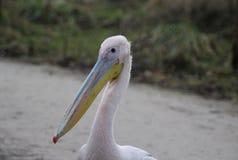 Pink pelican head Royalty Free Stock Photos