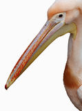 Pink pelican. The head of the pink pelican closeup on white background Royalty Free Stock Photo