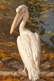 Pink pelican on log. Pink pelican sitting on log by the water Stock Photo