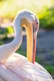 Pink pelican in natural nature close-up Royalty Free Stock Photo