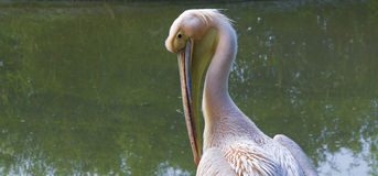 Pink pelican Stock Photo