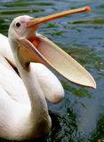 Pink Pelican. The pelicans are a genus of large water birds that makes up the family Pelecanidae. They are characterised by a long beak and a large throat stock photos